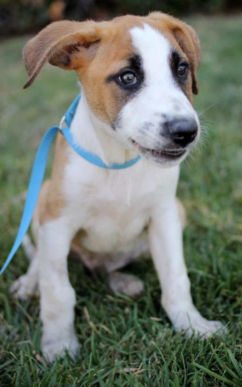 Adopt Game of Thrones Puppies Male on Puppies, Boxer