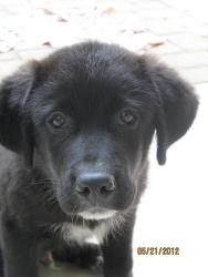 Adopt Ebony On Dogs Great Pyrenees Pets