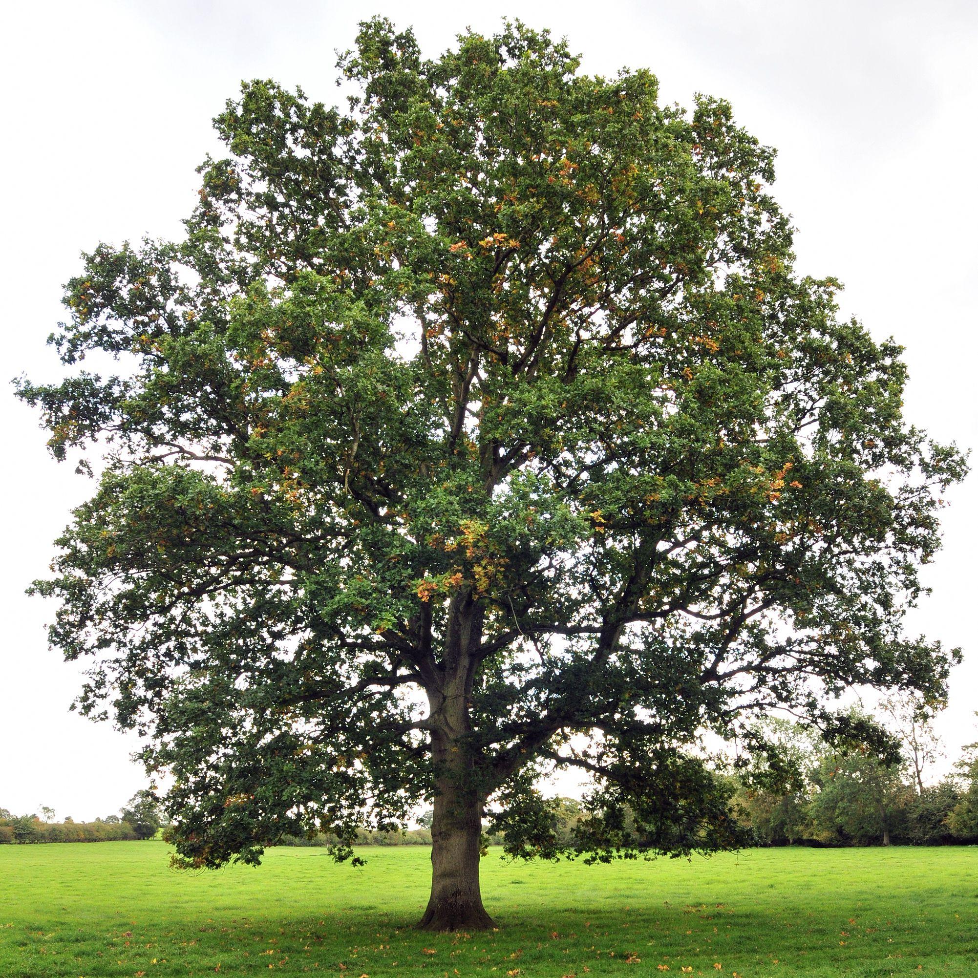 Oak tree google search outdoors pinterest oak tree