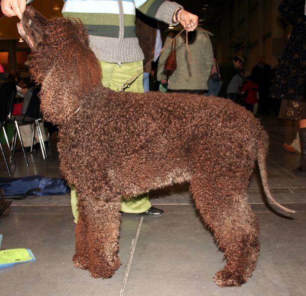 37 Smartest Dogs | PetBreeds | Irish water spaniel ...