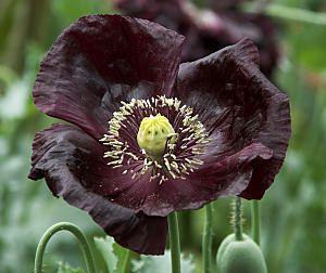 Flower turkish black poppy papaver gmo by gorgeousseedsgmofree flower turkish black poppy papaver gmo by gorgeousseedsgmofree 129 mightylinksfo