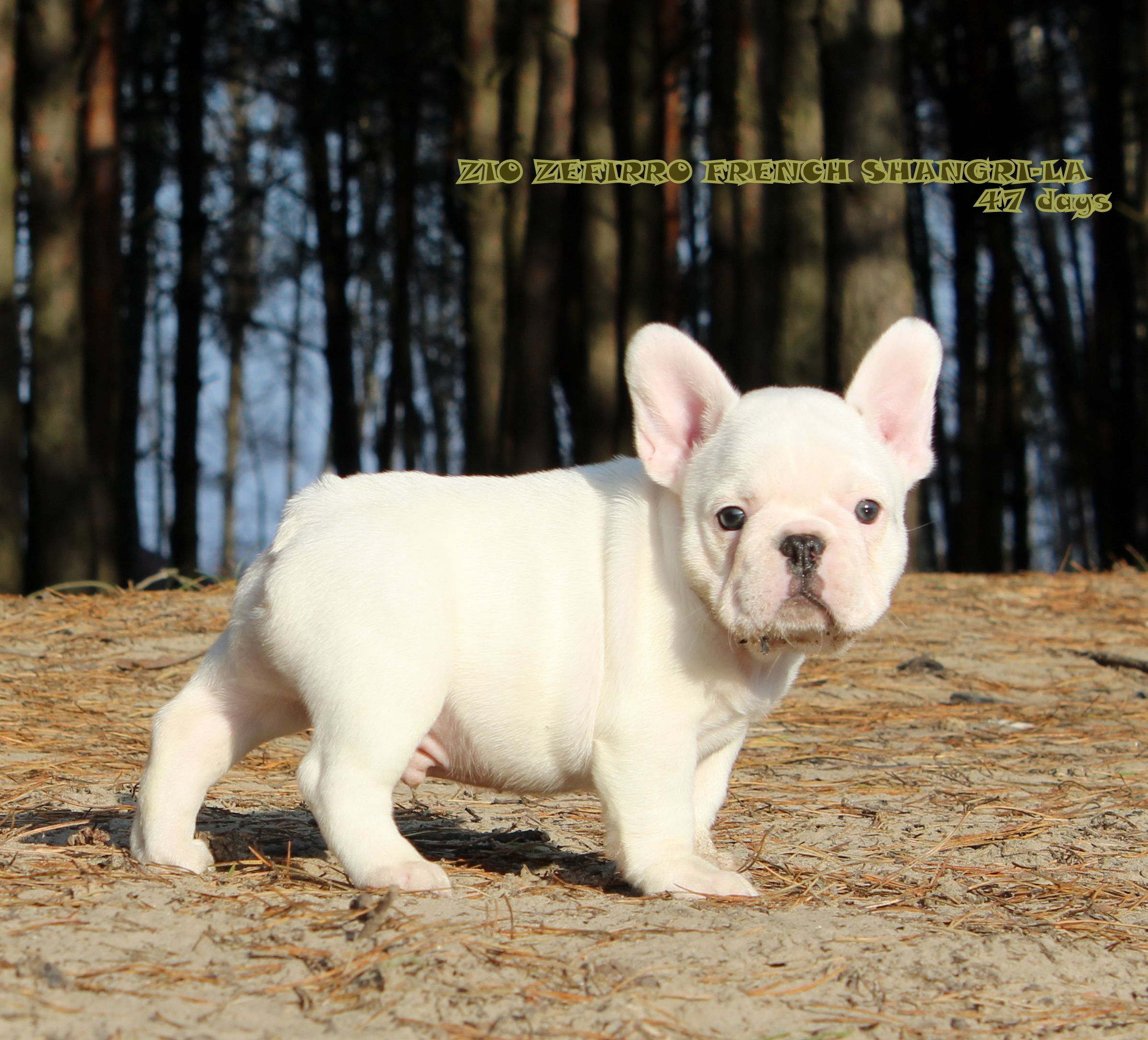 White French Bulldog Puppy White French Bulldog Puppies French Bulldog Puppies Bulldog Puppies