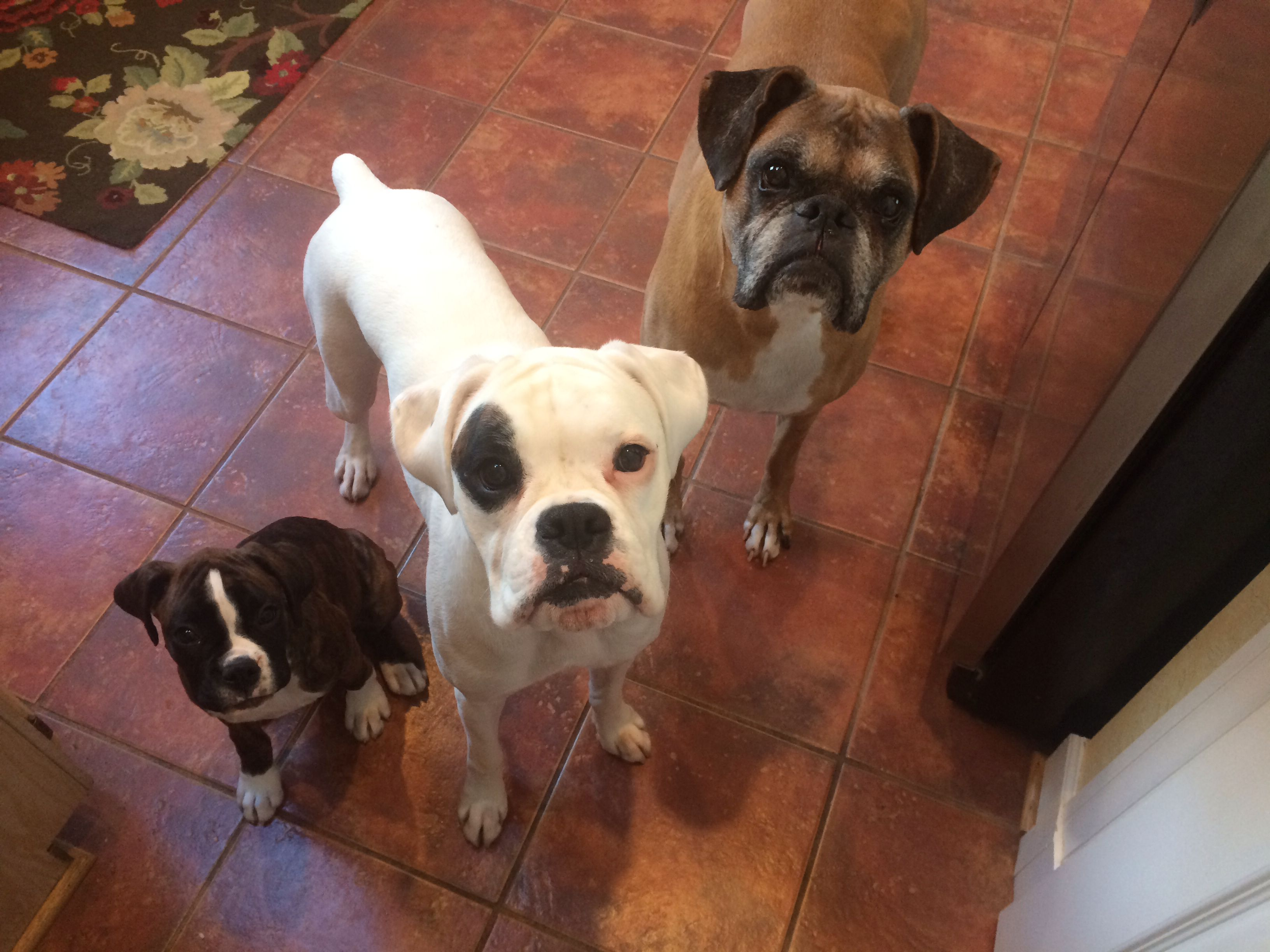 Three Boxers Brindle Puppy White Boxer Fawn Boxer Boxer Dogs White Boxer Puppies Boxer Puppies