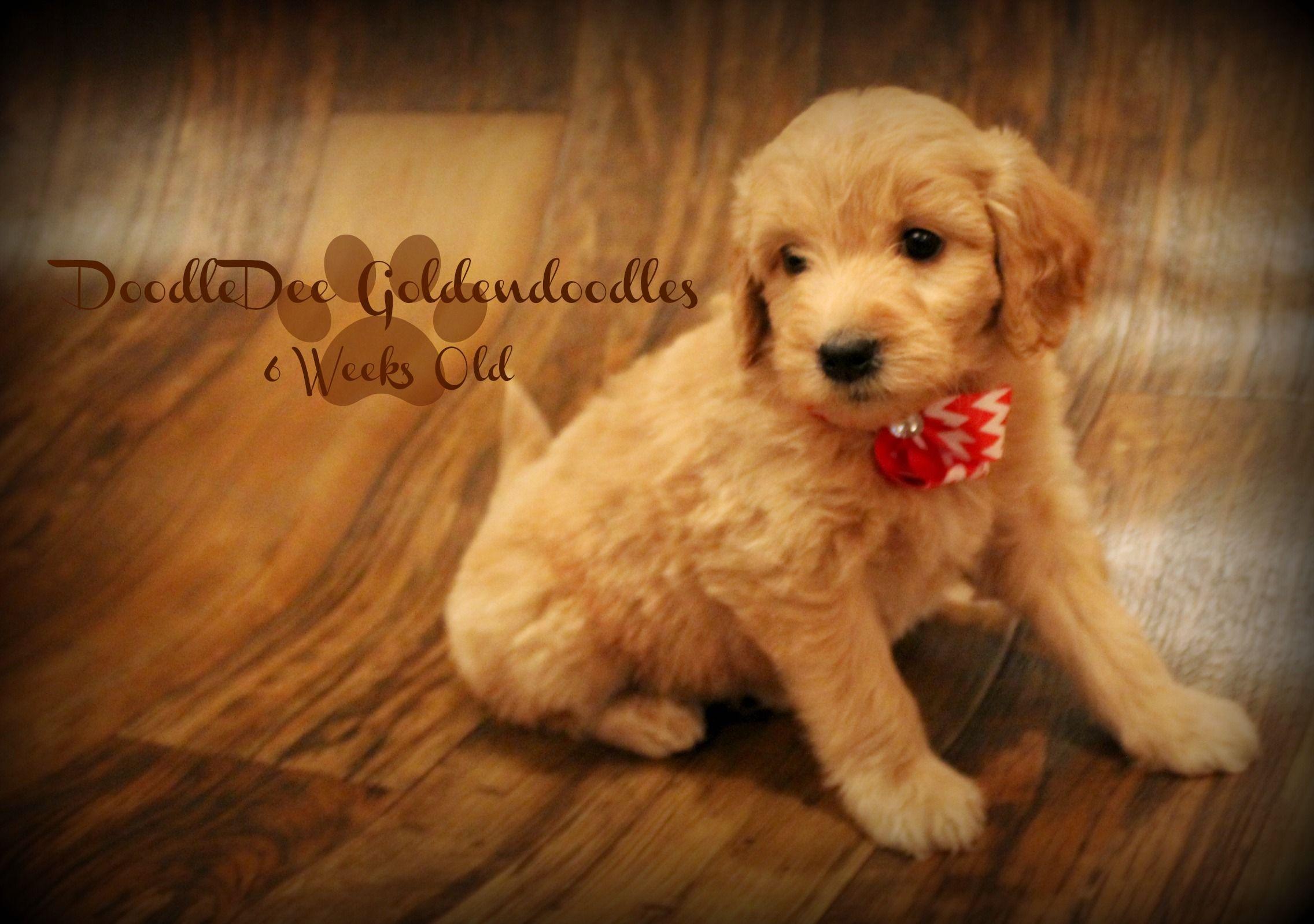 F1 Mini English Teddy Bear Goldendoodle Goldendoodle