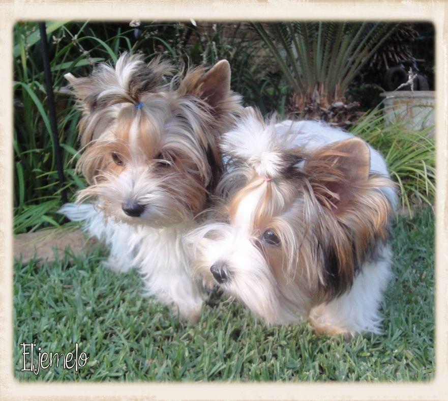 Available Puppies Eljemelo Yorkies Biewer Terriers We Breed Um Coz We Luv Um Durbanville Cape T Yorkie Puppy For Sale Puppies Yorkshire Terrier Breeders