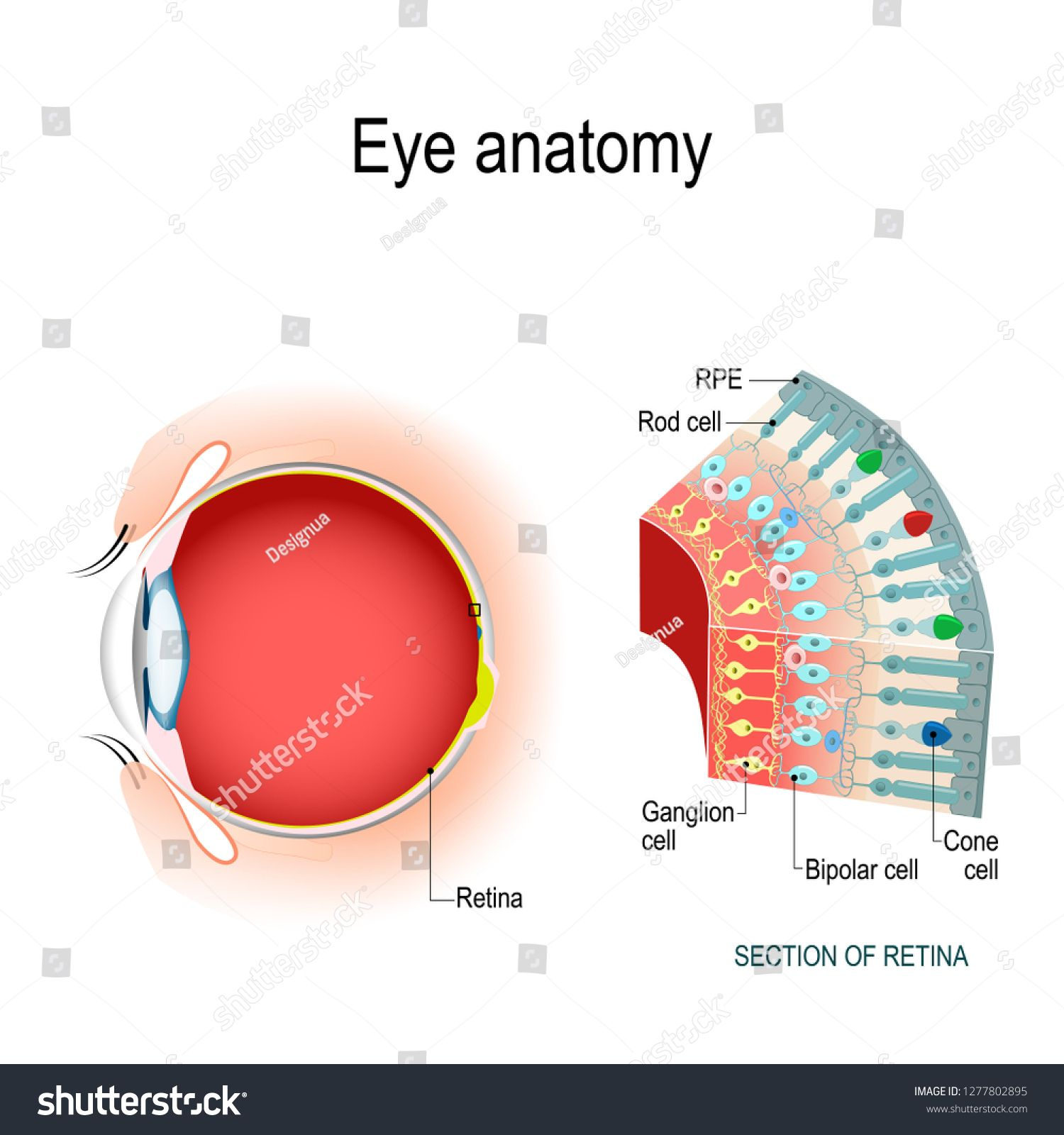 Eye Anatomy Rod Cells And Cone Cells The Arrangement Of Retinal Cells Is Shown In A Cross Section Vector Diagram For Your Design Eye Anatomy Cone Cell Cell