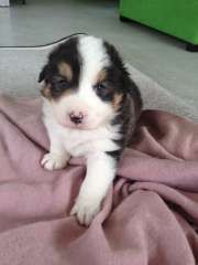 Pure Breed Border Collies Tri Colour 1 M 1 F Puppies For Sale