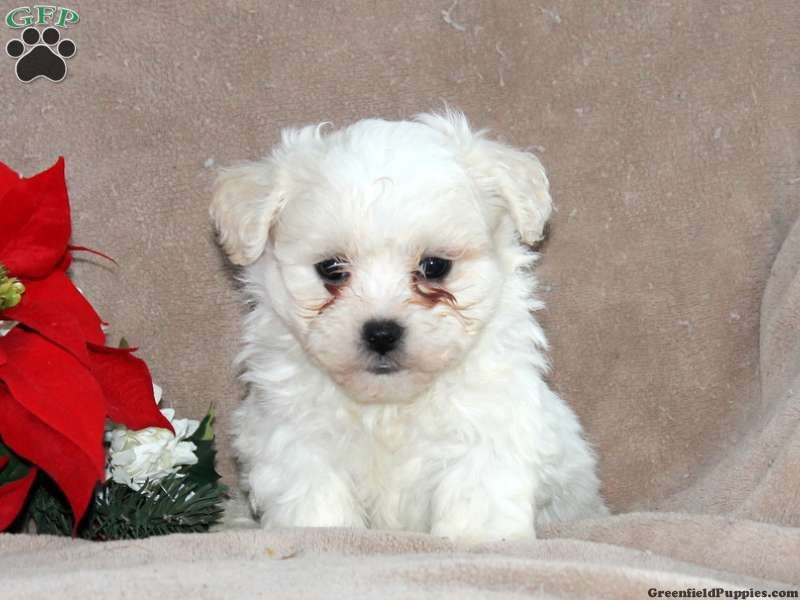 Theo Shichon Puppy For Sale In Oxford Pa Shichon Puppies