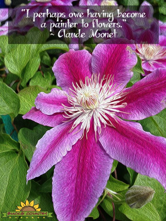 Clematis are I paired my pic of this flower with