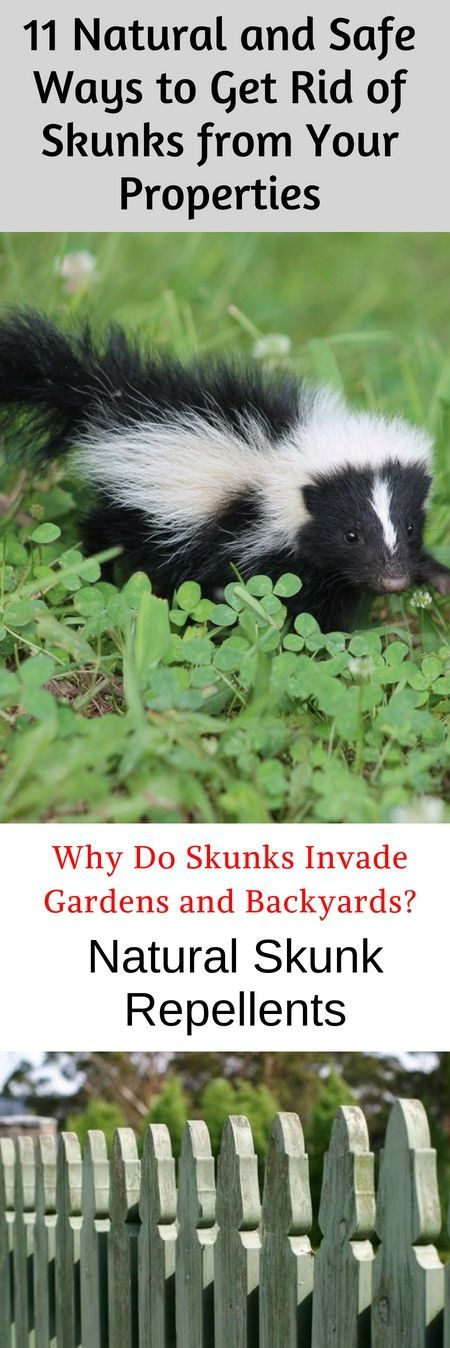 11 Natural Ways on How to Get Rid of Skunks Living Under ...