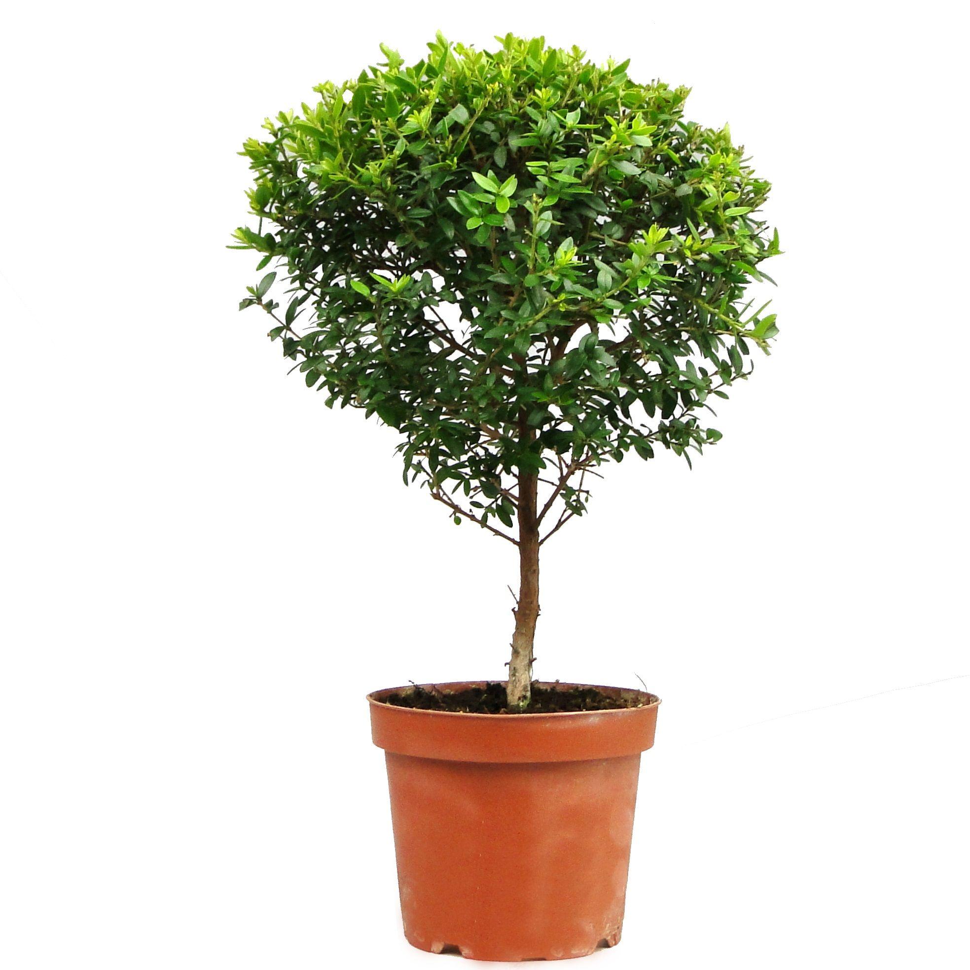 его как выглядит миртовое деревце фото меня