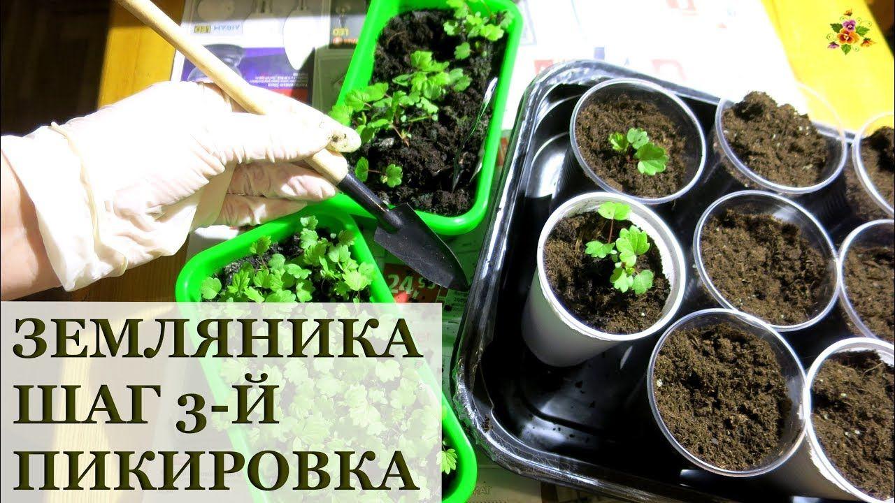 пикировка земляники выращенной из семян