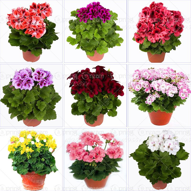 100 pcs sac g ranium graines rare panach g ranium graines en pot jardin d 39 hiver fleur pour. Black Bedroom Furniture Sets. Home Design Ideas