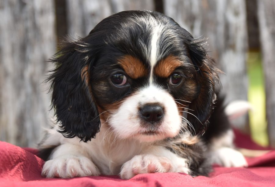 Cavalier King Charles Spaniel Puppies For Sale King Charles Cavalier Spaniel Puppy Cavalier King Charles Dog Cavalier King Charles Spaniel
