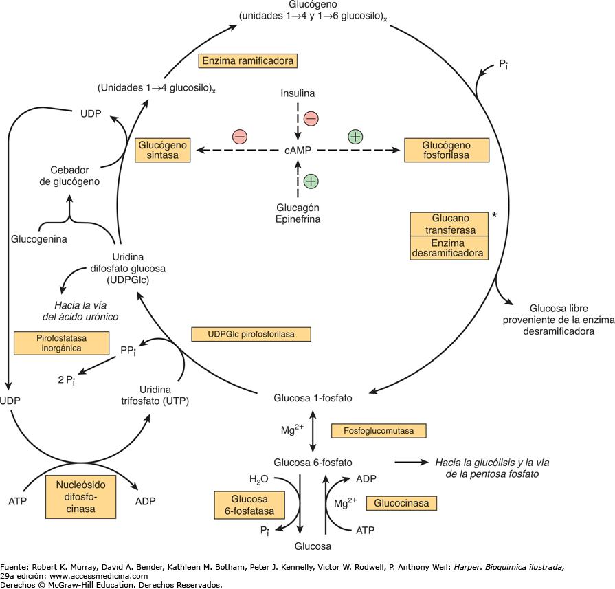 Resultado De Imagen Para Glucogenolisis Metabolismo Bioquímica
