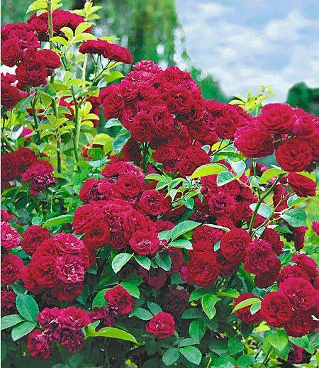 Mein Schöner Garten Shop rambler chevy 1 pflanze im mein schöner garten shop