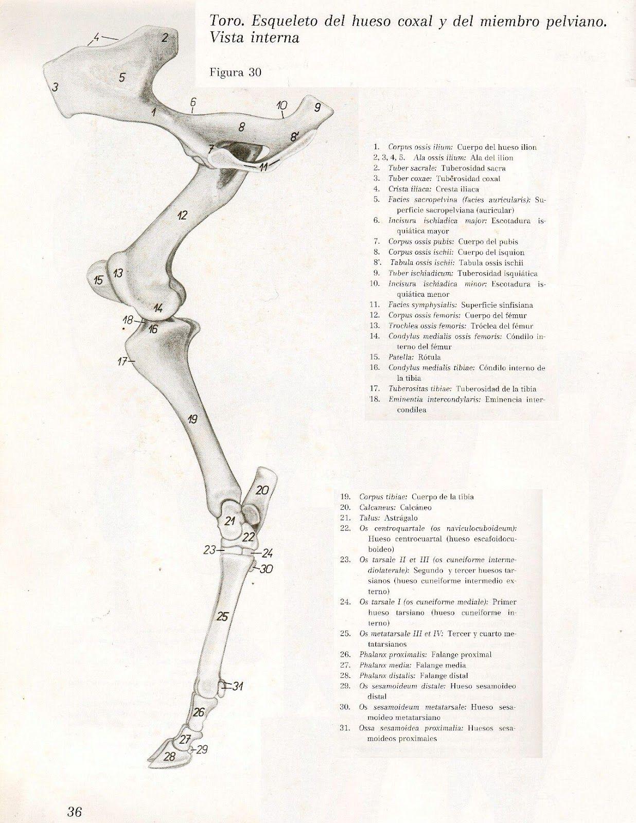 Anatomia Veterinaria: Miembro Pelviano (Toro) | Anatomia Animal ...
