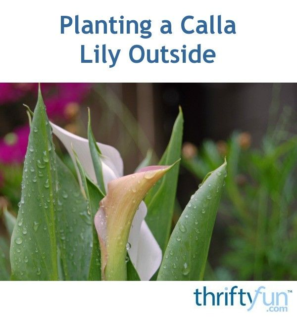 Planting A Calla Lily Outside Calla Lily Growing Lilies Lilly