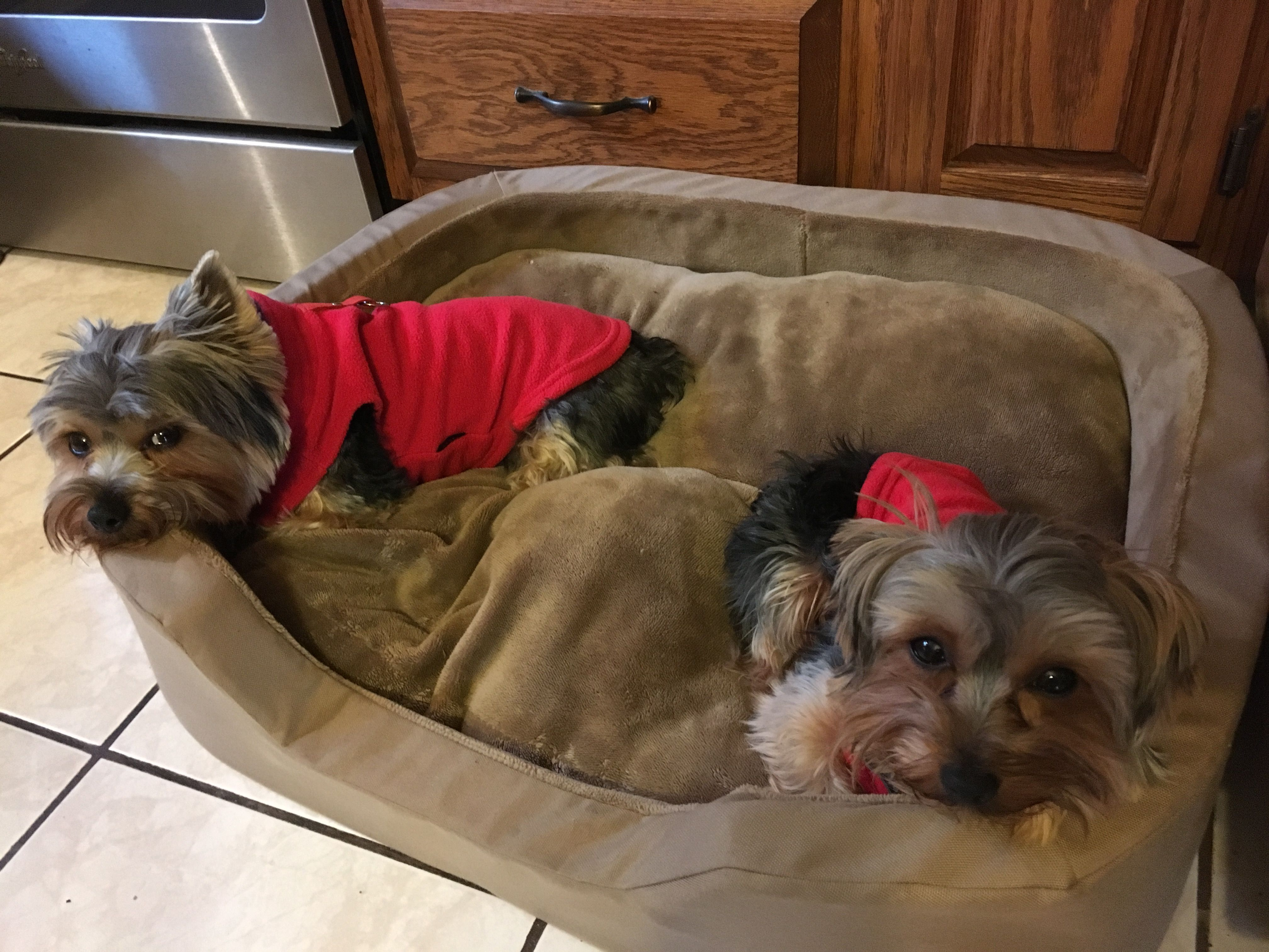 My 2 Little Angles Yorkie Animals Dogs