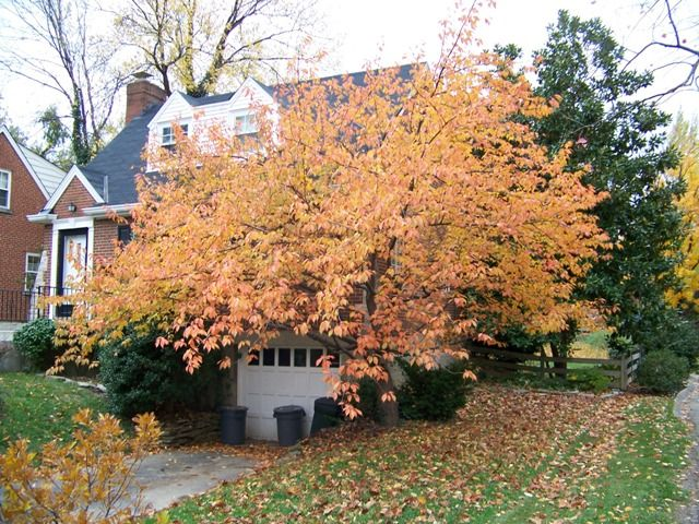 Kwanzan Cherry Tree In The Fall Dream Backyard Cherry Tree Autumn Trees
