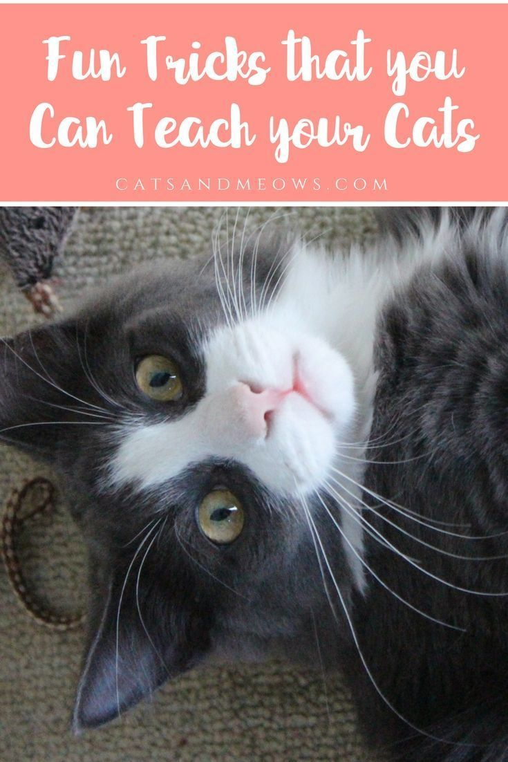 Fun Tricks That You Can Teach Your Cats Cats And Meows Cat Behavior Kitten Care Pet Care Cats