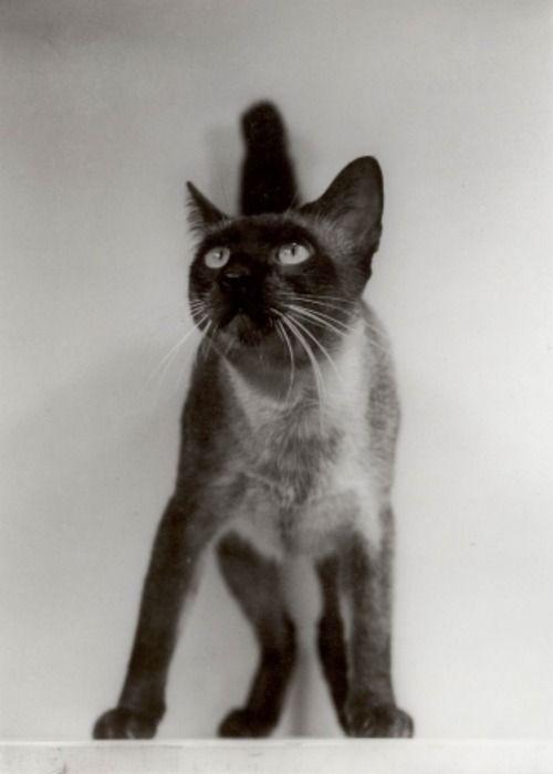 Chat Siamois (1930s). Siam cat