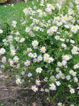 Japanese Aster Kalimeris Pinnatifida Hortensis From Perennial Marketplace Perennials Plants Garden Plants
