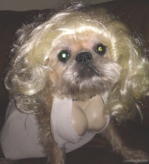 marilyn monroe dog costume cute animals halloween crafts diy costumes costume ideas dog costumes pet costume ideas