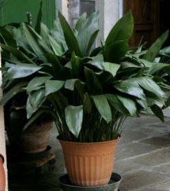 Cast Iron Plant - Aspidistra elatior - It can survive in low-light conditions and doesn't need much water. Place it in a dimly-lit corner and water it occasionally and you'll have a gorgeous indoor plant without much effort at all.