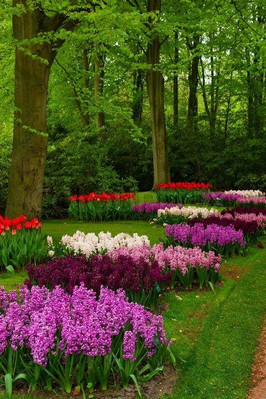 Colorful spring blossom of hyacinth in dutch garden 'Keukenhof', Holland   Stock Photo   Colourbox on Colourbox