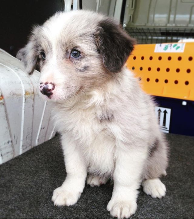 The Sweetest Little Border Collie Puppy Is Off To Townsville On