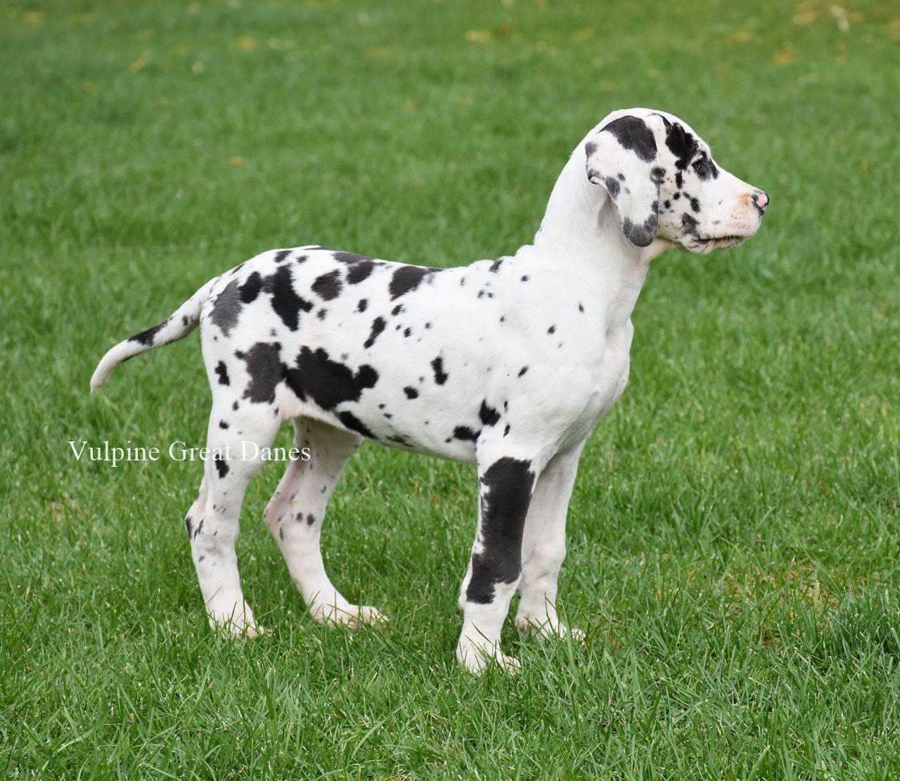 Harlequin Female Gizi Harlequin Great Dane Puppy Great Dane