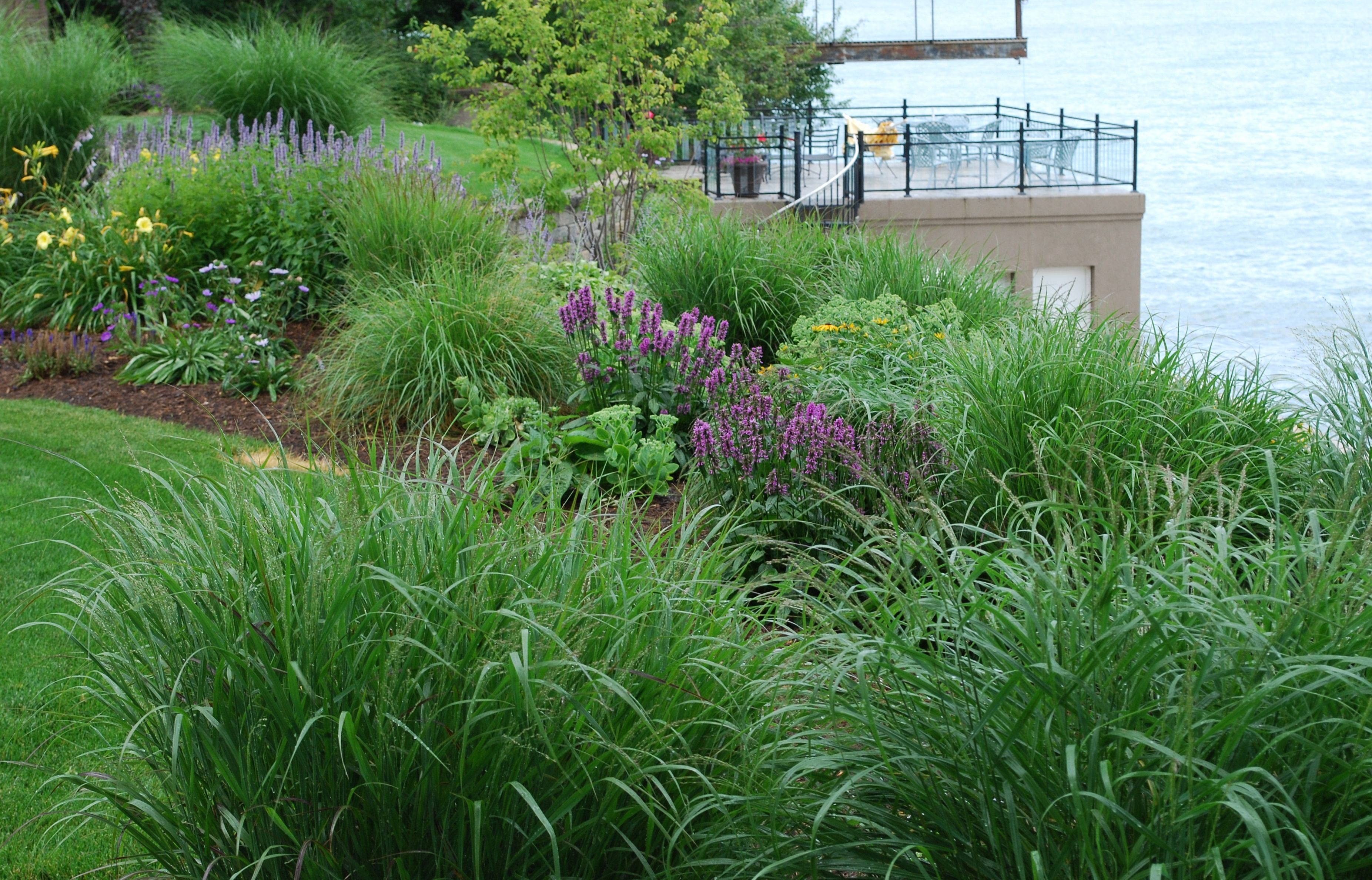 Switchgrass, 'Shenandoah' ,a cultivar of our native switchgrass, sways in the lake breezes.