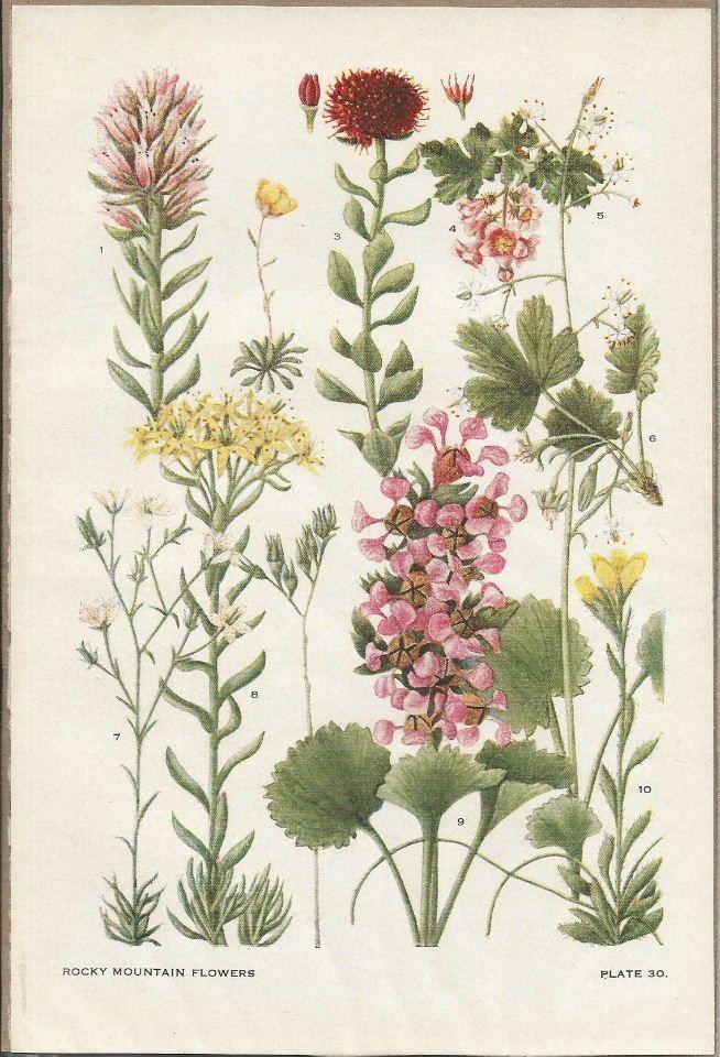 circa rocky mountain wild flower botanical print from
