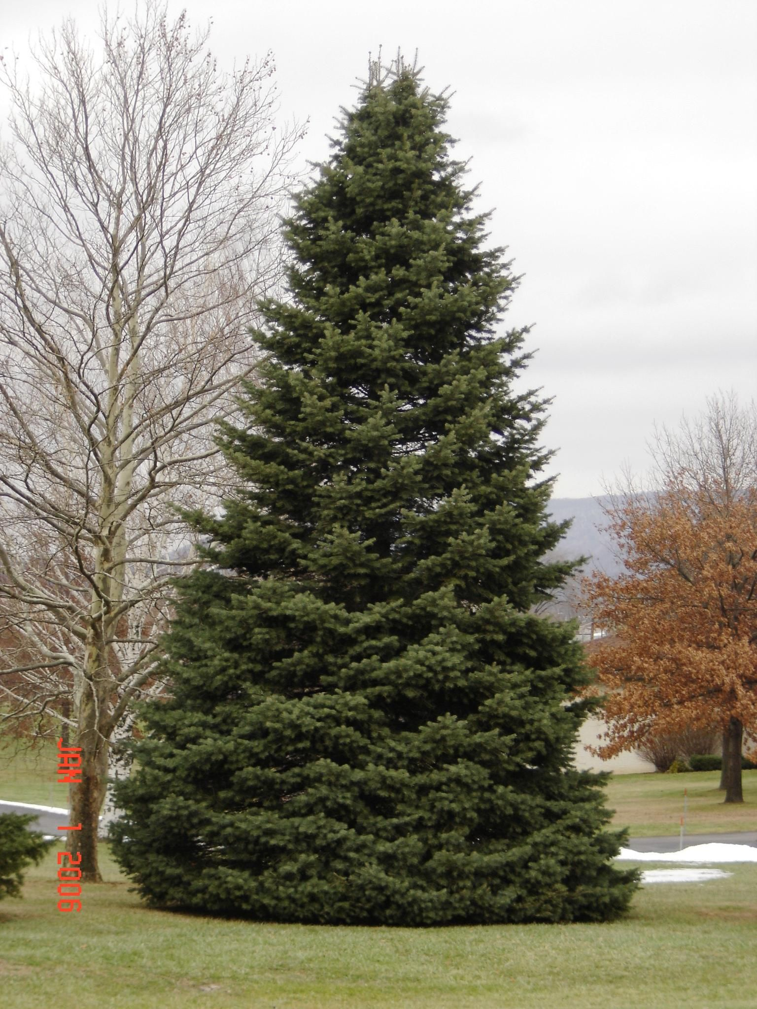 For coniferous species such as grand fir western white for Specimen evergreen trees small