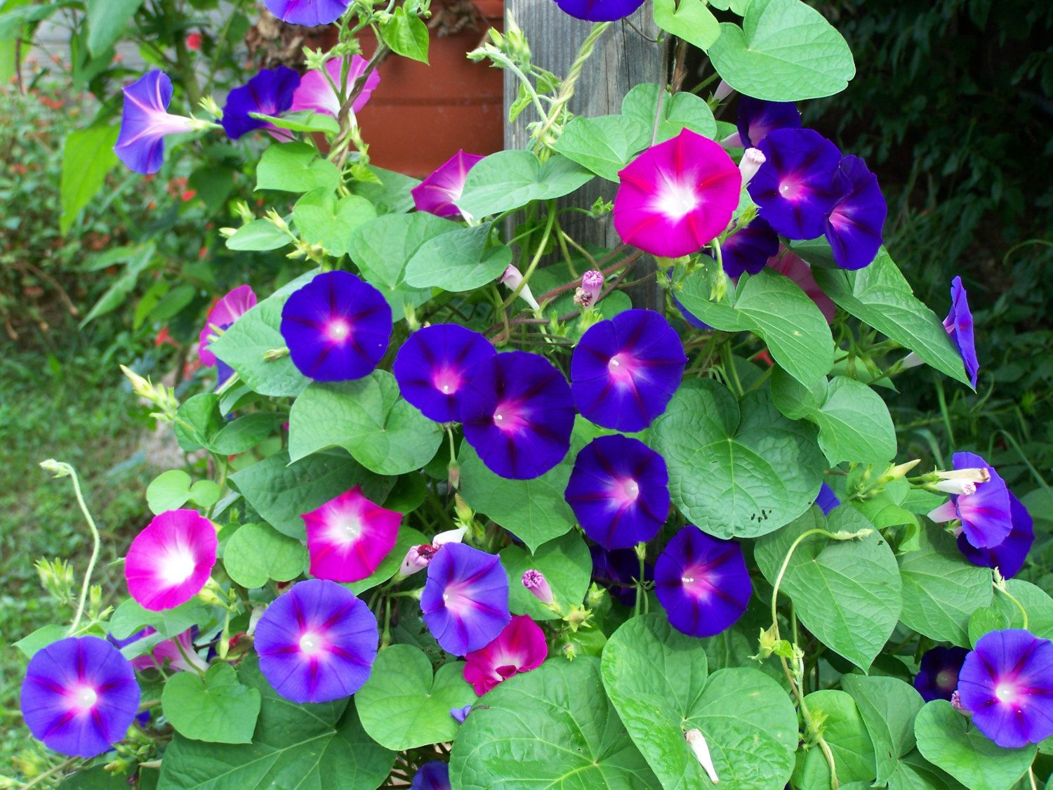 Morning Glory Children Morning Glory Flowers Flower Seeds Garden Vines