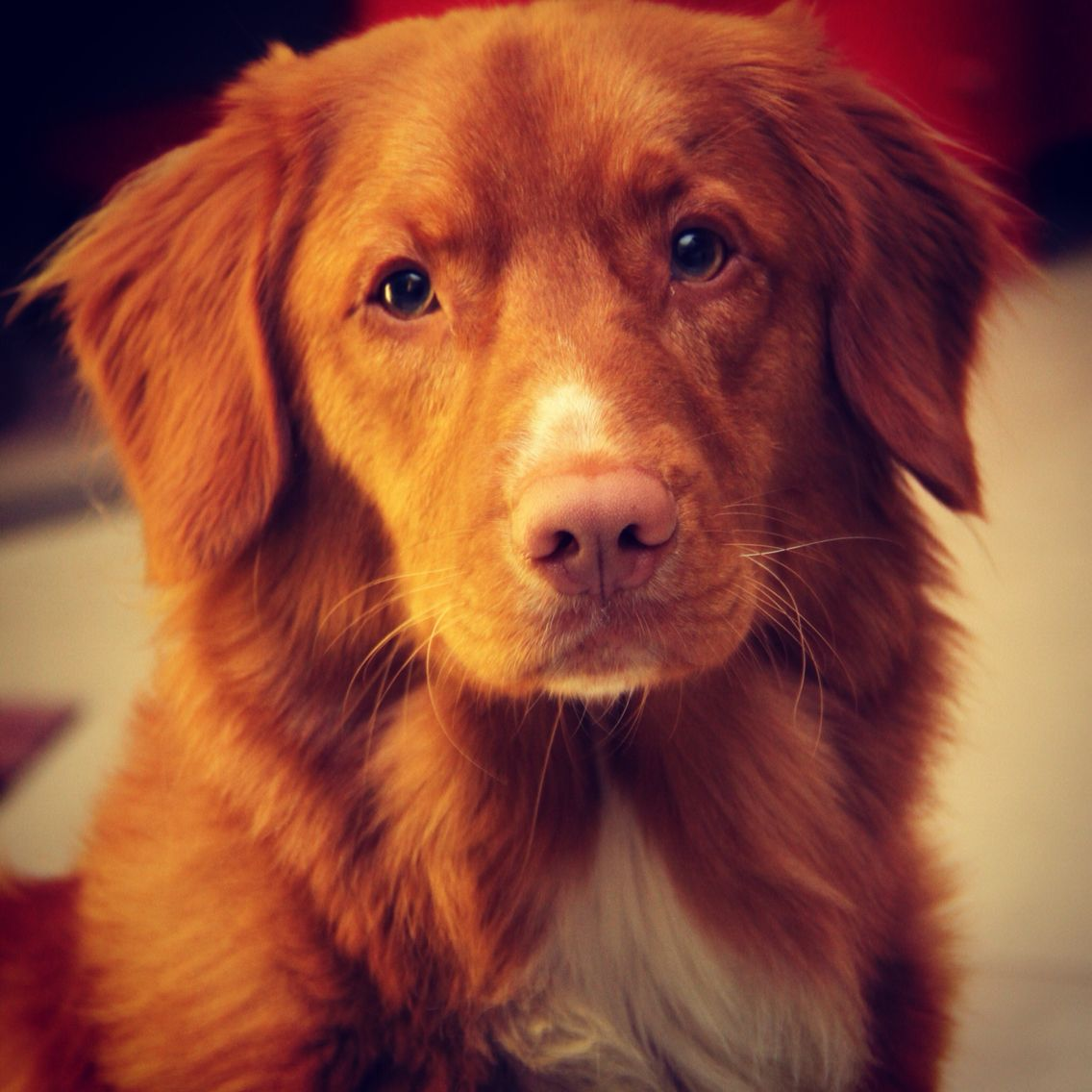 Nova Scotia Duck Tolling Retriever Puppies For Sale Mn References
