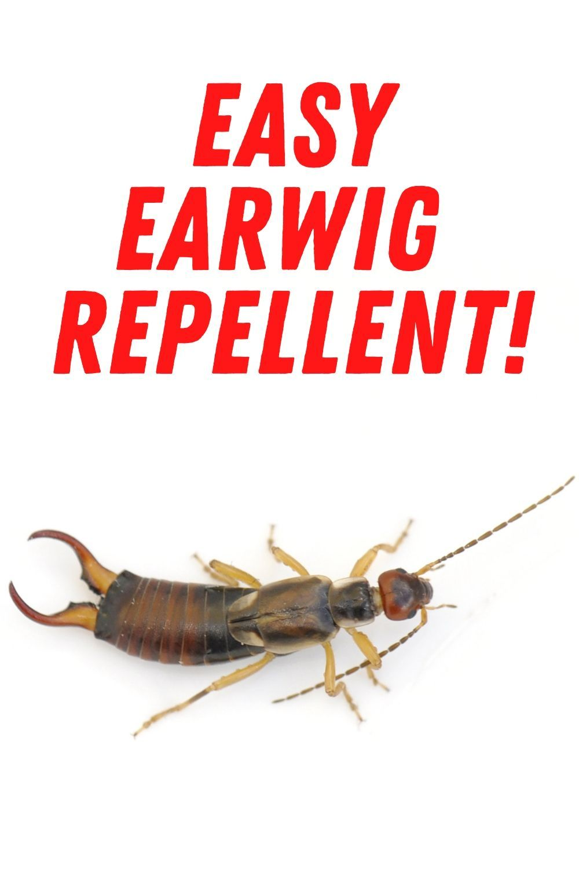 Earwig repellent in 2020 earwigs repellent getting rid