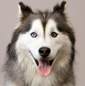 Get to Know Some Characteristic Features of Mini Husky Dogs #miniaturehusky Happy Miniature Husky #miniaturehusky Get to Know Some Characteristic Features of Mini Husky Dogs #miniaturehusky Happy Miniature Husky #miniaturehusky Get to Know Some Characteristic Features of Mini Husky Dogs #miniaturehusky Happy Miniature Husky #miniaturehusky Get to Know Some Characteristic Features of Mini Husky Dogs #miniaturehusky Happy Miniature Husky #miniaturehusky