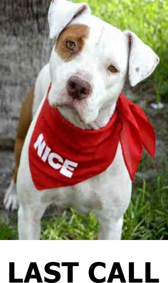 Safe Julliett A1724232 I Am A Female White And Brown American Bulldog Mix The Shelter Staff Th Animal Shelter Quotes Pet Adoption Animal Shelter Design