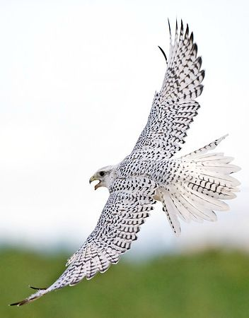 White Gyrfalcon (Falco rusticolus) considered to be the ...
