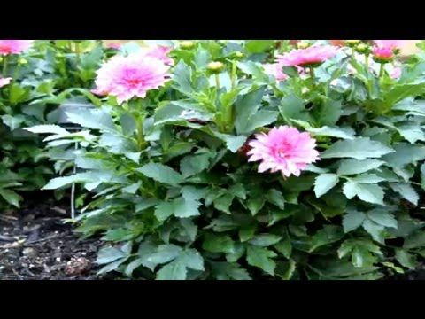How To Dig Dahlia Bulbs In The Fall Fall Winter Flowers Winter Flowers Growing Dahlias Flowers