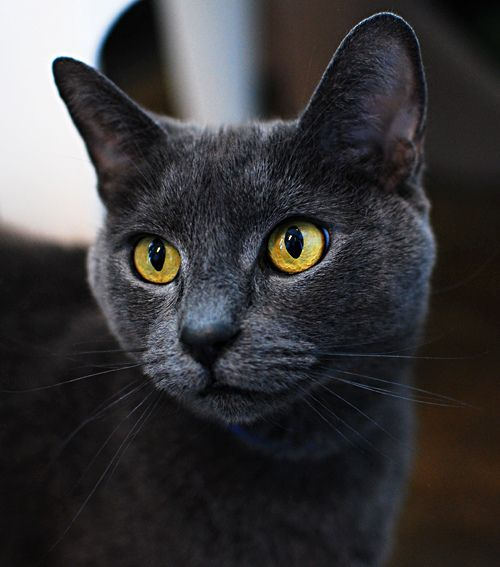 Dark Gray Cat With Yellow Eyes Russian Blue Cat Russian Blue Cats