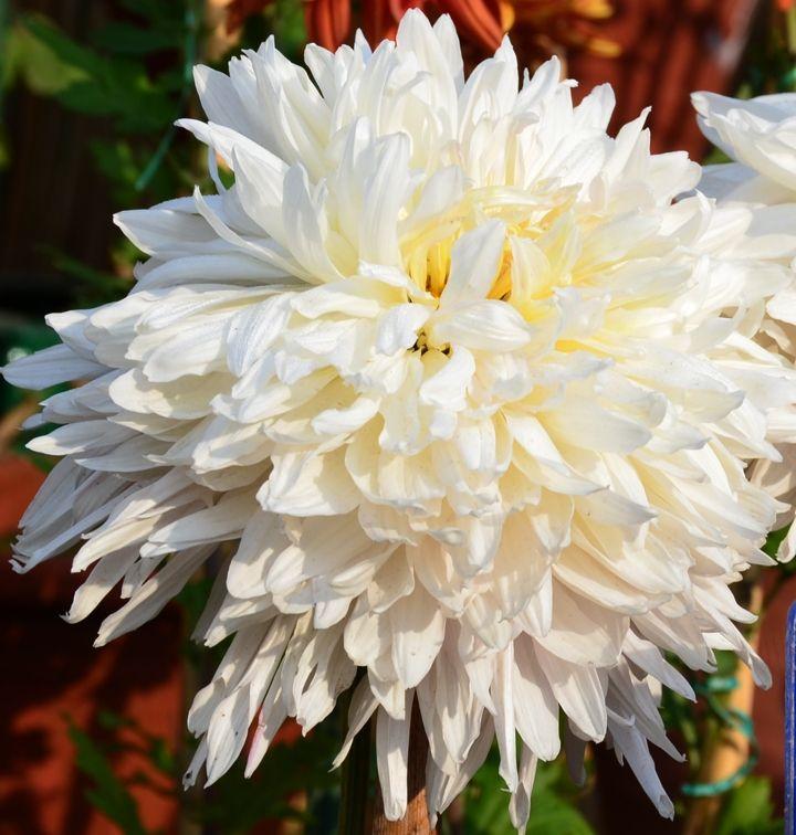 White Chrysanthemum From Chandigarh To Abha Wedding Flowers The Essay