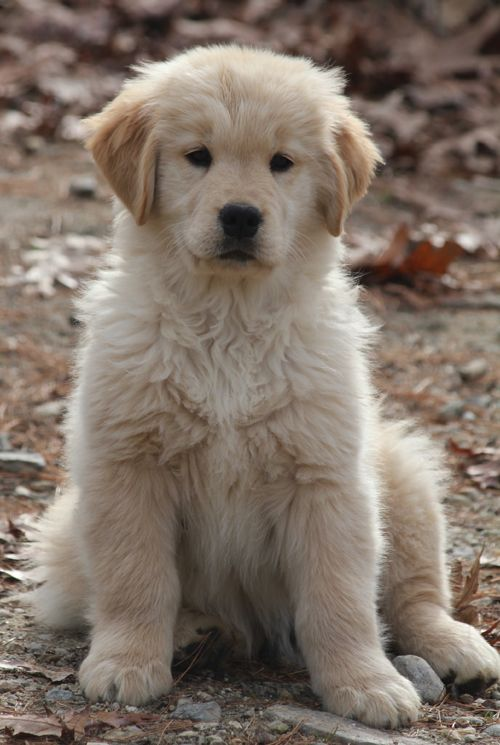 Lazydaze Farm Golden Retrievers Puppies Ma Puppies