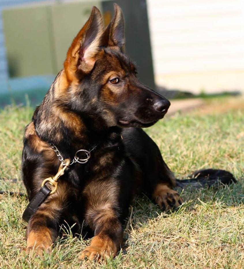 Freightliner Cascadia Spn Code Def Sable German Shepherd German Shepherd Dogs German Shepherd