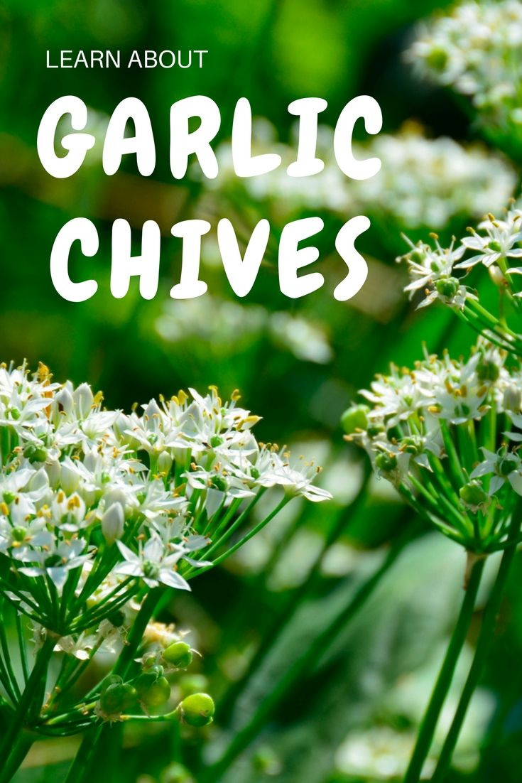 Garlic Chives Information Gardening Know How S Blog Garlic Chives Square Foot Gardening Garlic Garden