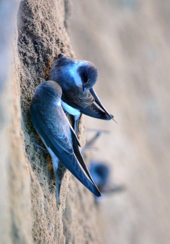 Swallows nest in sand cliffs by Steve Chiarelli / 500px