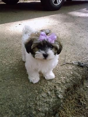 Havamalt Puppy Cute Small Dogs Havanese Puppies Puppies And