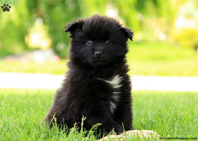 Cora Pomsky Puppy For Sale In Pennsylvania Pomsky Puppies